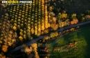 Forêts de peupliers en automne vue du ciel